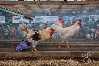 Chicken chariot races