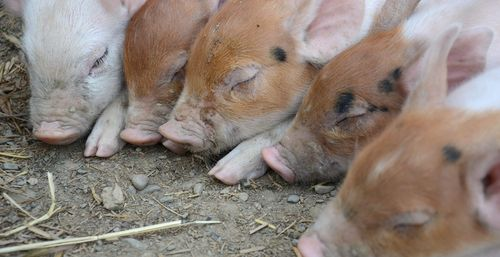Julia's piglets at farm sanctuary