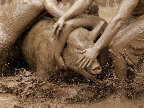 Pig wresting is cruel