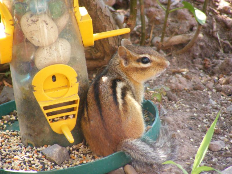 mischievous chipmunk